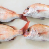『国東の食環境(309)生きていた鯛』の画像