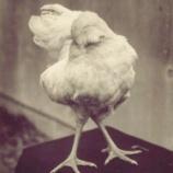 『生命力:頭の無い鶏』の画像