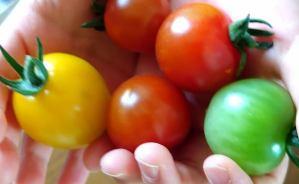 プチトマトの収穫は