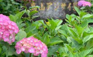 「紫陽花の名所」の開花状況