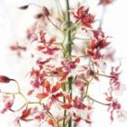 『オンシジウムが咲きました。』の画像