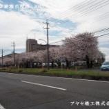 『【綾瀬市シリーズ】綾瀬市役所の桜』の画像