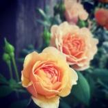 『小さくてもダリヤ咲き♪』の画像