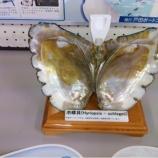 『戸田パールを産む池蝶貝(いけちょうがい)』の画像