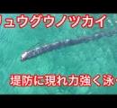富山で「リュウグウノツカイ」相次ぎ発見