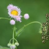 『春紫苑』の画像