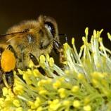『南アフリカのミツバチ』の画像