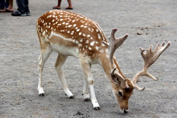 鹿の繁殖による深刻な被害は日本国民を滅ぼす?