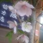 『(´・ω・`)陽光の桜華が薫る煉瓦道』の画像