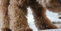 ぜいたくグルメを覚えたトイプードル子犬。