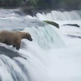 『川に流された子熊を助けに行くお母さんグマ』の画像