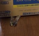 猫が箱に入ってからの猫パンチは何でガッチリ爪立ててやるの?