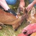 Wildlife Aid~どうしてこうなった?角同士が絡み合って外れなくなった鹿のレスキュー大作戦