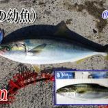 『エギング行ってハマチ釣る!瀬戸内エギング(アオリイカ釣り)#018』の画像