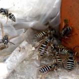 『10月クロスズメバチとの攻防戦』の画像