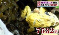 """ヒトと有毒カエルの息詰まる攻防 """"池の水抜かない""""駆除作戦に密着 7532匹を捕獲 結果は…"""