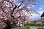 もう満開とな!梅じゃないよ!相撲練習所の横の桜がめっちゃ咲いてる!〜交野市私部の青年の家のところ〜