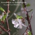 【桜】思いがけない副産物でピンクな春を味わう♪