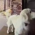 イヌは家の中に入りたい。鳴いて知らせるのかな? → この犬はこうします…