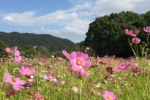 必見!植物園の『コスモス』が見ごろになってる!~私市植物園のコスモス畑がキレイ~