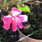 『零下の庭バラの花と紅葉のプリゴナムと千両の実など』の画像