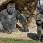【動画】米国、動物園のゴリラがコロナ感染!類人猿で初 ― カリフォルニア州