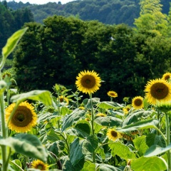 上野町ひまわり園【2019】