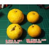 『たくさん採れたスダチやユズ、カボスの果汁を使って、レモネード(スダチェイド、ユゼェイド?)を作る。』の画像