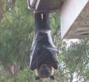 【画像】このコウモリでか過ぎワロタwwwwwwwwwwwww