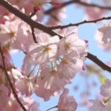 『桜のことのは』の画像