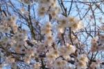 森南。桜、咲きました!〜つぼみから開花までの様子がこちら〜