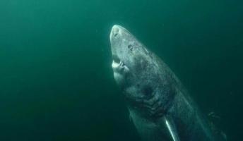 512歳のサメが見つかってしまう 織田信長の生まれる30年前から生きてる模様