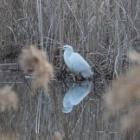 『ダイサギ(大鷺) ~庭に来るかもしれない野鳥~』の画像