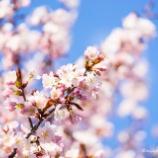 『青空と桜Blue sky and cherry blossoms.』の画像