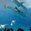VOA 20200927 ジンベイザメ、オスは成長が速いがメスの方が大きくなる(time3:14)
