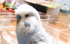 自分で鈴を鳴らす度に首を傾ける小鳥