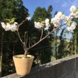 『桜が引っ越し』の画像