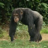 【閲覧注意】チンパンジー(コイツらならいつでも殺せるな…)人間「チンパンジーかわいいー!!」