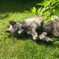 甲状腺ホルモンの数値が高かったのにどんどんよくなった!16歳ロシアンブルー猫ちゃん