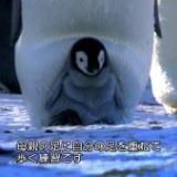 【画像】ペンギンの赤ちゃん、お母さんと一緒に歩く練習をする……!!!!