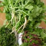 『収穫レポート「間引き菜」』の画像