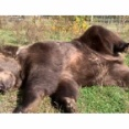 野生を完全に失ったクマ…肉球をサワサワされてもこの通り(動画)