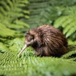 『キーウィ:ニュージーランドの至宝』の画像