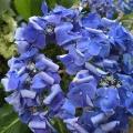 紫陽花の季節ですね。