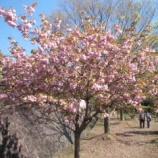 『今日の1号館(牡丹桜)』の画像