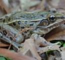 【画像】ニューヨーク市で新種のカエル発見