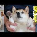 100円ショップの柴犬グッズ!ダイソーの柴犬箸がかわいい!菜箸もあるよ。
