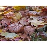 『青空、紅葉、霜柱のトレッキング』の画像