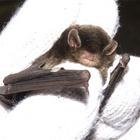 『コウモリの健康診断』の画像
