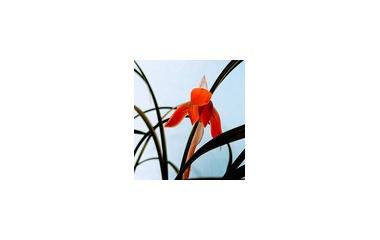 『春蘭が咲き始めました』の画像
